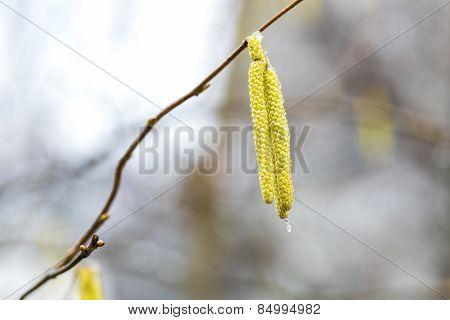 Hazelnuts Flowers On Branch
