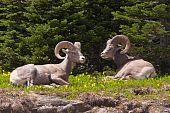 Two bighorn sheep rams are bedded down amongst the glacier lillies in Logan Pass Glacier National Park Montana. poster