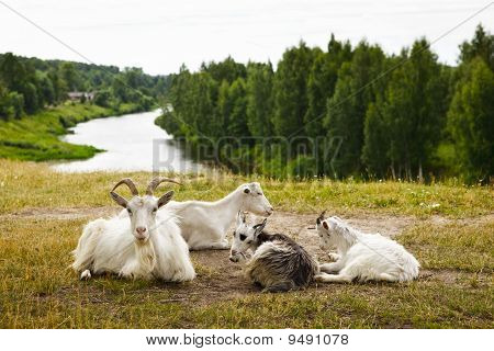 Goats Family Have A Rest
