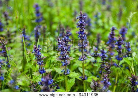 Blooming Blue Bugleweeds