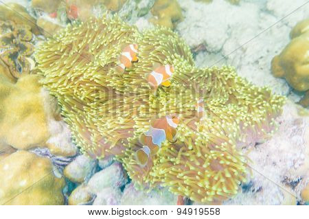 Group Of Clown Fish Nemo In Anemone With Coral Reef