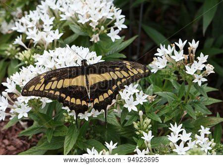 Thoas (king's) Butterfly