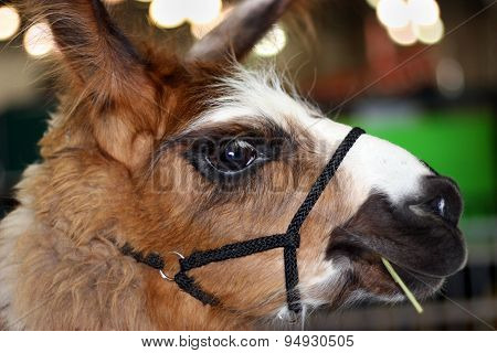 Closeup Of Beautiful Llama