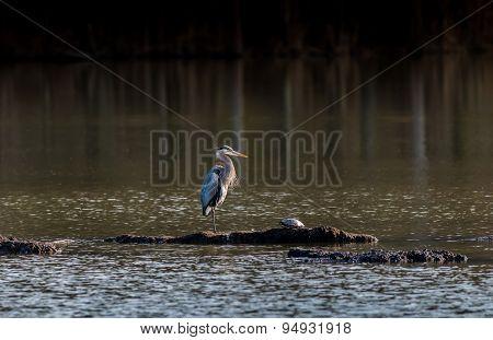 Chesapeake Bay Great Blue Heron