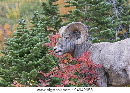 Bighorn Sheep Eating Berries In The Fall