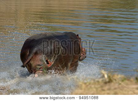 An injured Hippo runs into the water