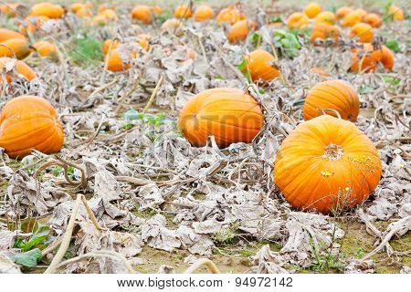 Pumkin Field With Different Types Of Pumpkin On Autumn Day