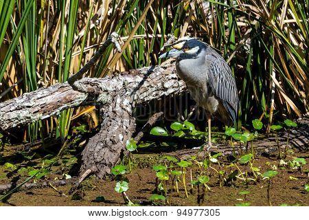 A Wild Yellow-crowned Night Heron