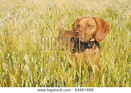 Hunting dog in the ripening grain. Hot summer day. Hungarian Pointer Viszla hunting.