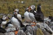 A group of Atlantic puffins standing on the rocks of one of the Farne islands, Great Britain poster