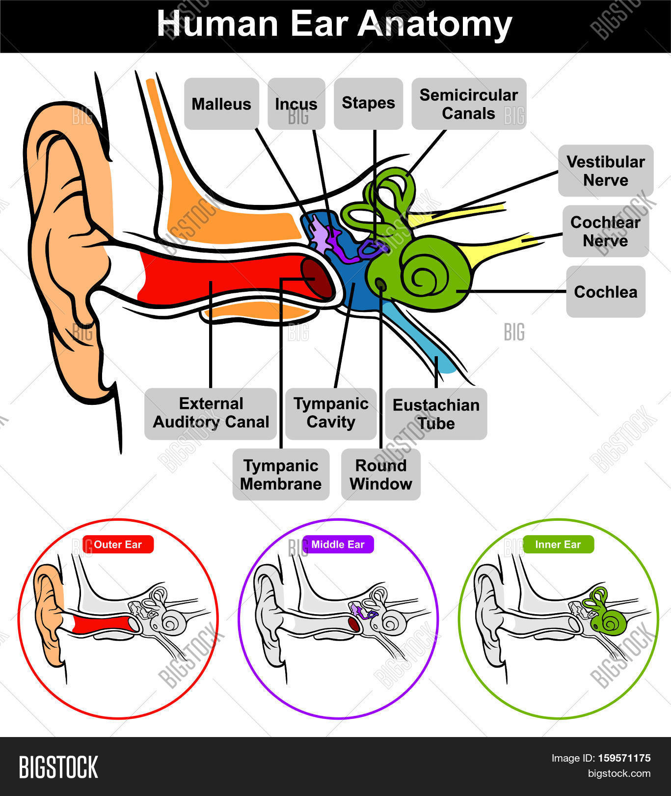 Human Ear Anatomy Image & Photo (Free Trial) | Bigstock
