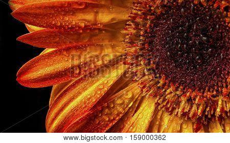 Gerber flower petal with morning dew in summer.