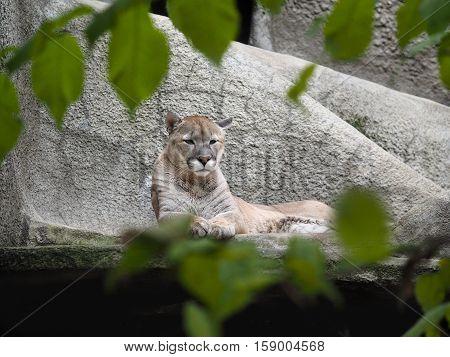 Puma - mountain lion the family cat. Zoo