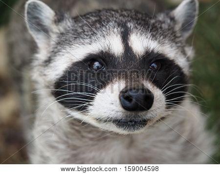 Raccoon, or American raccoon. Portrait -- a carnivorous mammal of the genus of the raccoon family