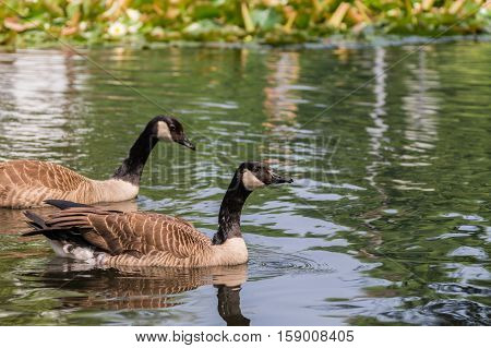 Close-up of two swimming Canada Geese at the Lake