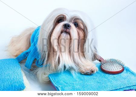 Shih tzu dog hair style in grooming salon concept. On white background.