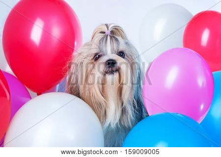 Smiling long hair shih tzu dog holiday with red, blue, white and pink balloons. On white background.