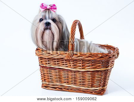 Cute shih tzu dog with pink bow sitting in basket on white background