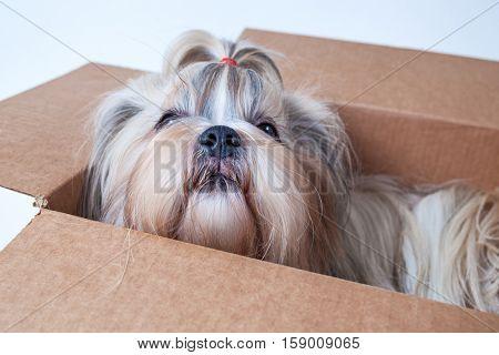 Shih tzu dog sitting in cardboard box. Postal gift concept. On white background.