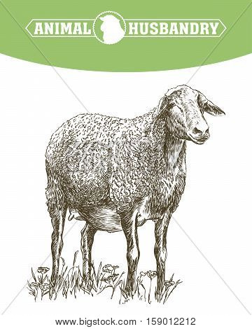 hand drawn sketch sheep of on a white background