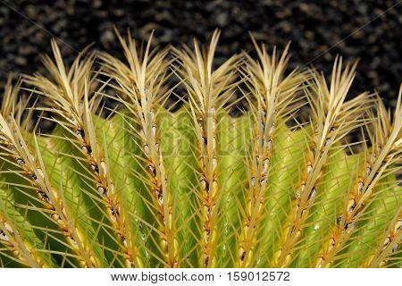 Golden Barrel Cactus Macro