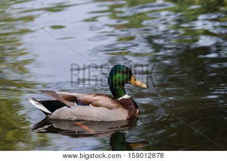 Close-up of a swimming Mallard duck on a sunny day. Mallards and Ducks