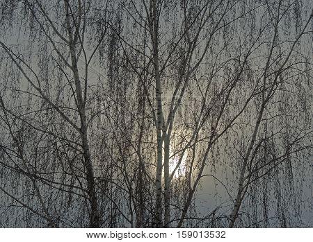 Birch and the sun, branches, trunks, sky, birch catkins, haze
