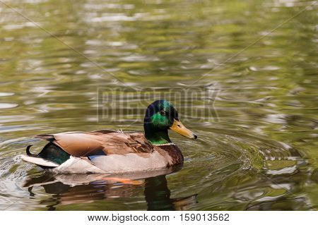Close-up of a swimming Mallard duck on a sunny day