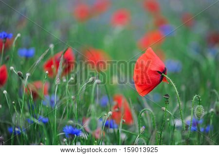 Flower poppies.spring flower with bokeh background close-up selective focus shallow