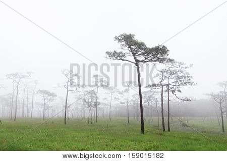 Phu SOI DAO National Park at Uttaradit province Thailand/Misty forest with flowers on the ground