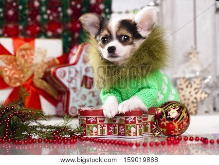 Chihuahua hua puppy  in Christmas decorations