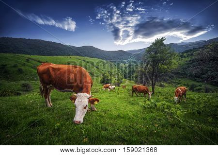 Cows. Summer sunny day. Cow in pasture. Mountain meadow. Green meadow in mountains and cow summer landscape.