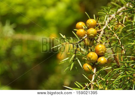 Wild fruits pf a plant glowing like gold in the light of the sun.