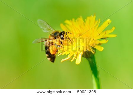 Honey bee collecting nectar from dandelion flower in the summer time.
