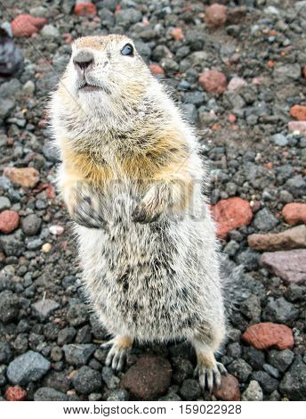 Standing gopher on the ground Kamchatka Peninsula Russia