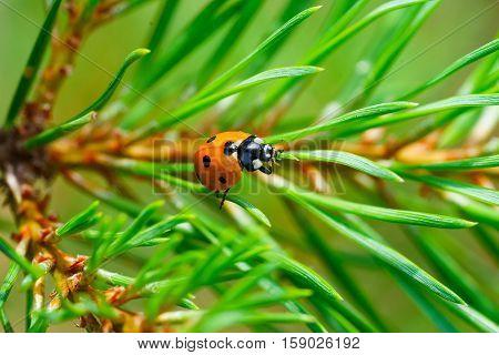 Ladybug creeps on pine to sun closeup