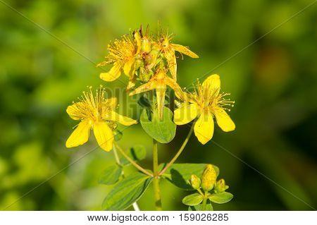 Perforate St John's-wort. Hypericum perforatum macro flowering plant