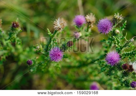 Silybum marianum flowering on a sunny day in the wild nature