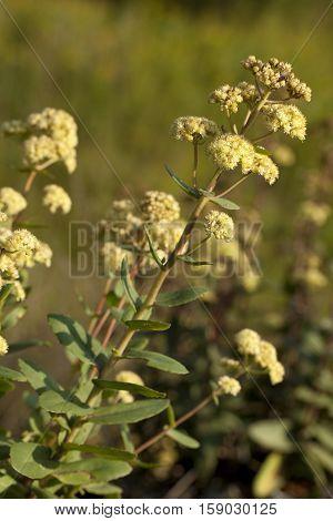 white Sedum great (Sedum maximum) in nature