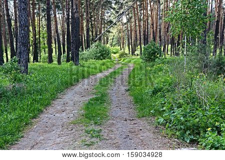 The forest road ran, dividing the pine on plots.