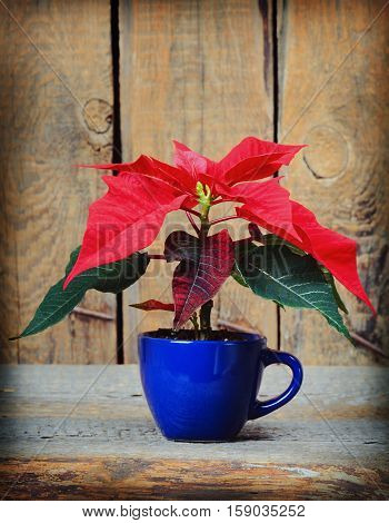 Poinsettia Christmas star in the cup on wooden background