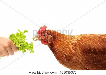 Portrait of the chicken Lohmann Brown eating the salad on white background