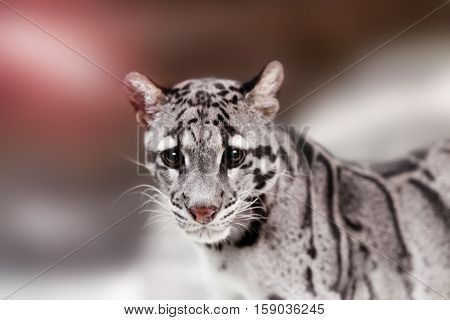 Beautiful clouded leopard on the nice black background