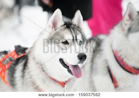 portrait of husky dog with different eyes: brown and blue