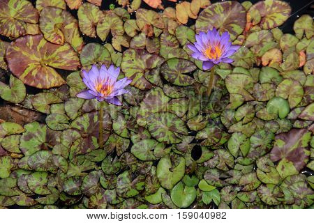 Beautiful background with lily pad leaves and bright purple lilies in still pond water.