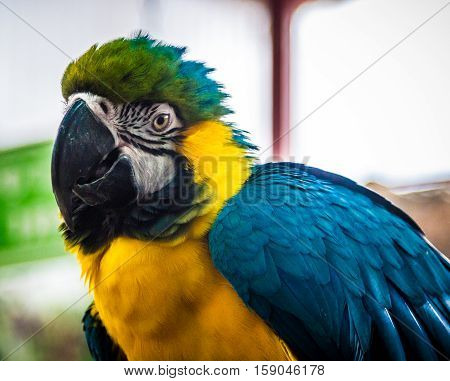 Macaw parrot blue-and-yellow or blue-and-gold macaw large South American parrot close-up