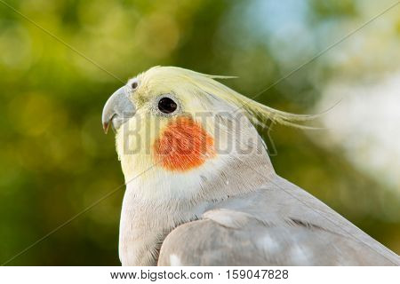Beautiful parrot nymph gray with yellow crest