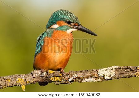 Kingfisher bird preening on a branch with a green background