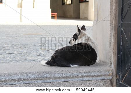 Black and white dog, Dog, Street dog, Dog looking at the street
