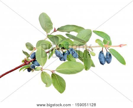 branch with honeysuckle berries isolated on white background